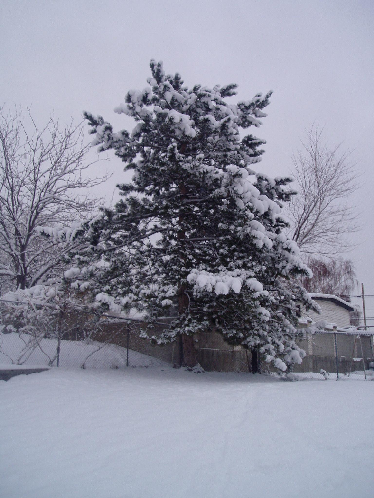 The pine tree in our backyard is totally covered. It looks so Christmas.