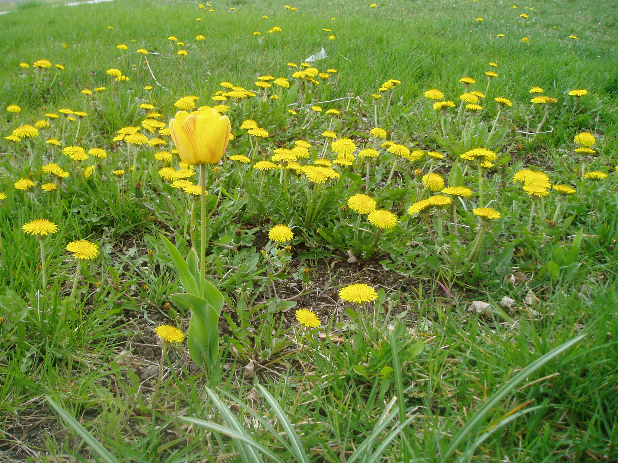 Yellow tulip surrounded by dandelions.