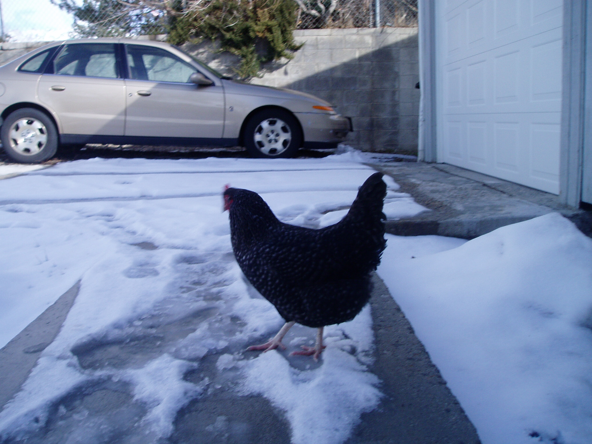 A rooster in our driveway